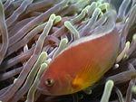 Amphiprion akallopisos - poisson-clown mouffette