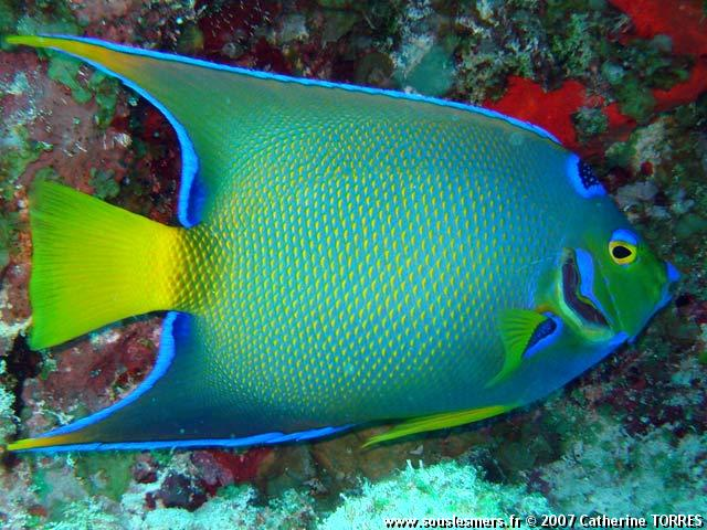 Holacanthus ciliaris - poisson-ange royal