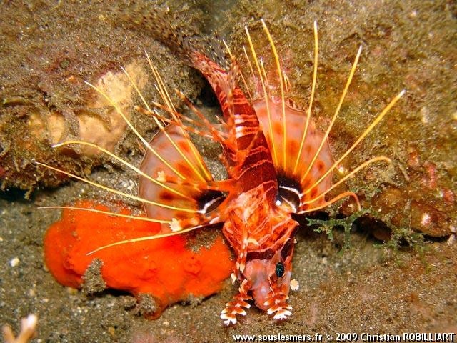 Pterois mombasae - rascasse volante mombaise