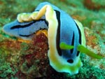 Chromodoris annae - doris d'Anne