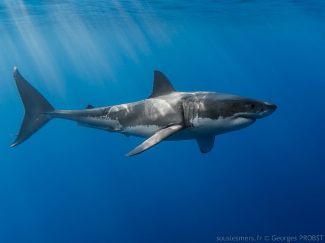 Carcharodon carcharias - grand requin blanc