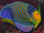 Pygoplites diacanthus - poisson-ange royal :