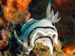 [1443] Chromodoris willani - doris de Willan