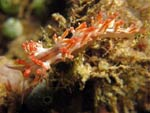 [1515] Flabellina rubrolineata - flabelline à lignes rouges ou red-lined flabellina
