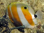 [1525] Coradion chrysozonus - poisson-papillon coradion à bande orange ou poisson-corail à bande orange