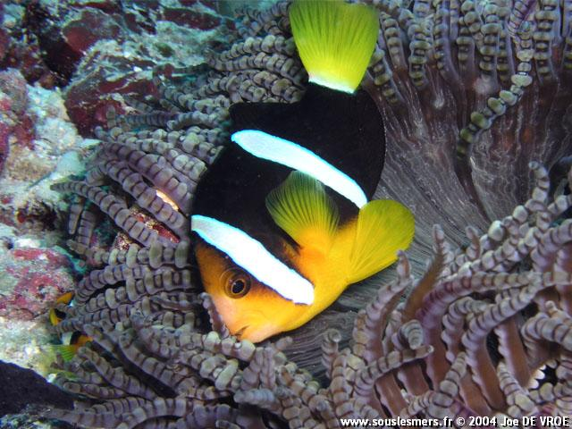 Amphiprion clarkii - poisson-clown de Clark