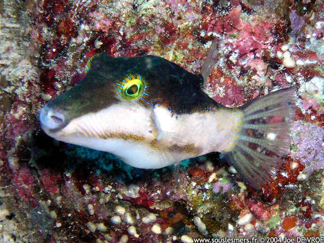 Canthigaster smithae - canthigaster bicolore