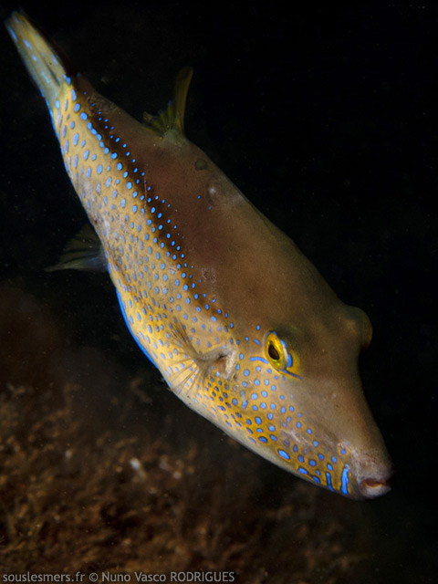 Canthigaster capistrata - tétrodon nain