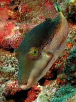 Canthigaster smithae - canthigaster bicolore :