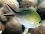 [1820] Chromis ternatensis - demoiselle à queue d'hirondelle