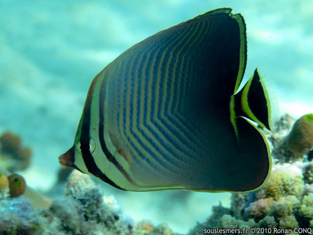 Chaetodon triangulum - poisson-papillon triangulaire indien