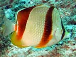 Chaetodon robustus - poisson-papillon robuste