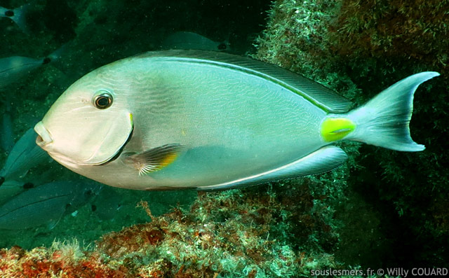 Acanthurus monroviae - chirurgien ouest-africain